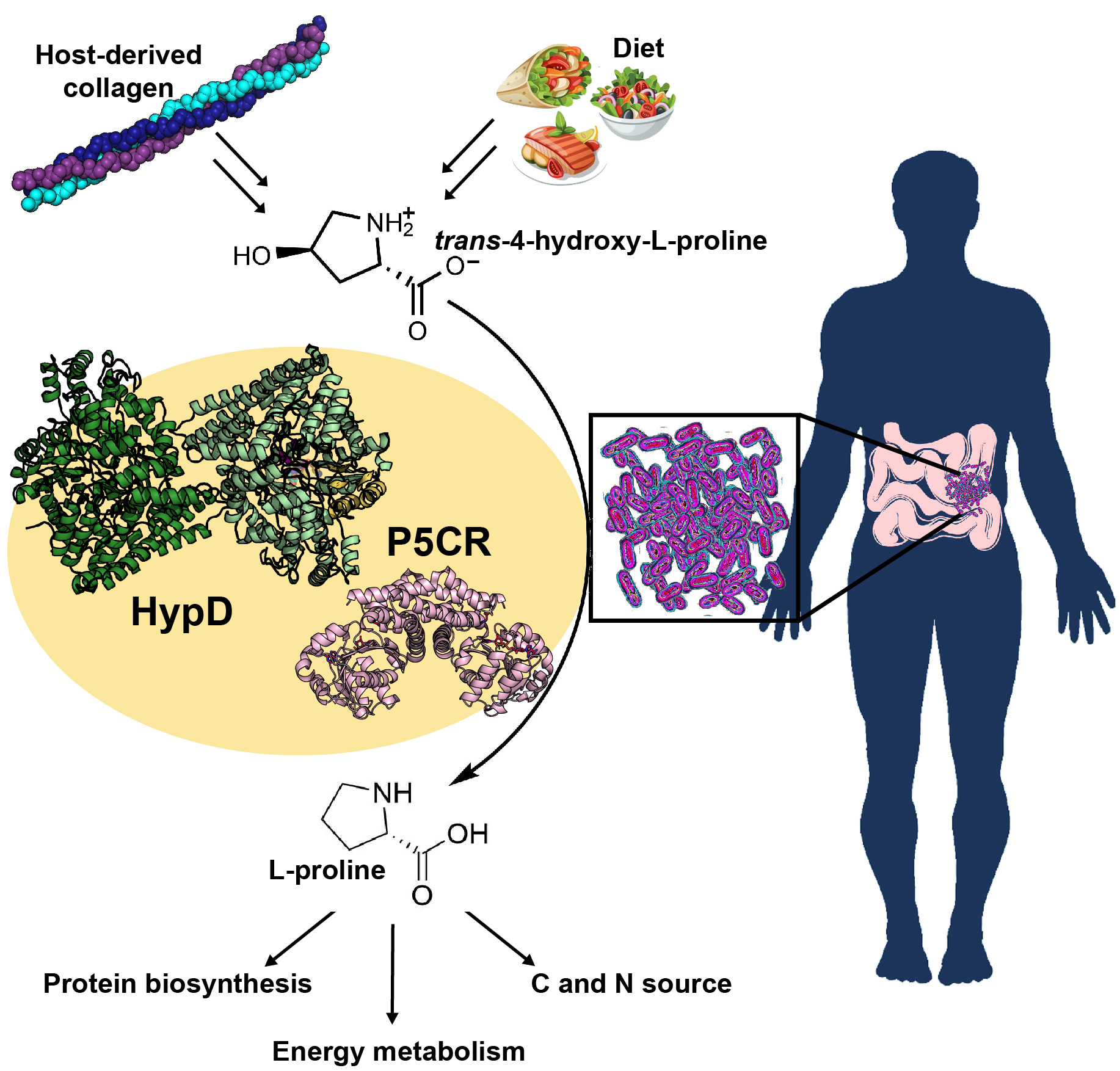 Supporting Image: HypD-P5CR-graphical-abstract.jpg